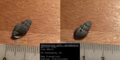 Nassarius aff. goreensis (2)