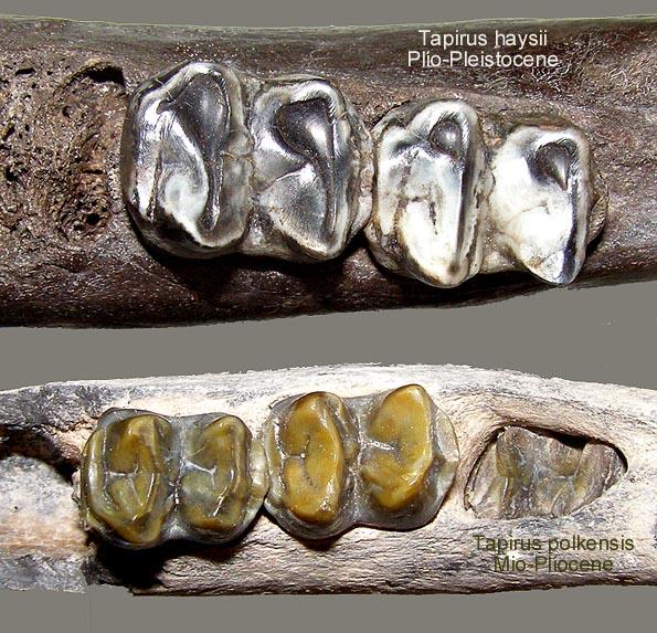 tapirpairocclusal.JPG