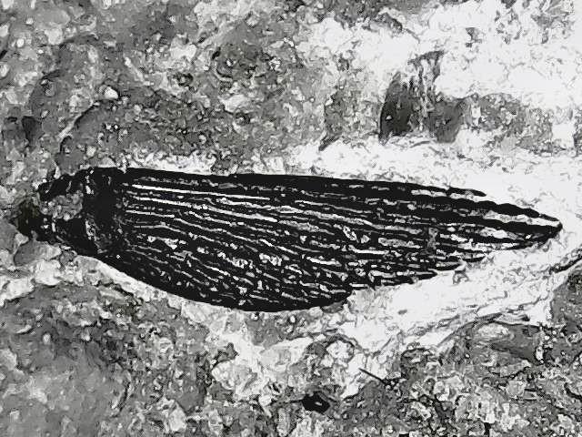 psarolepis relative. fin spine.jpg