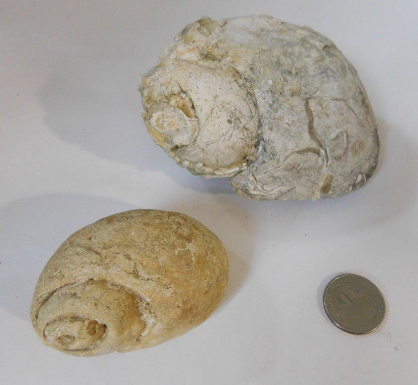 Gastros Lunatia.JPG