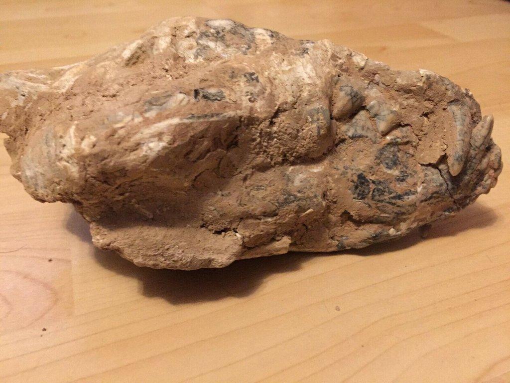 fossil skull 2.jpg