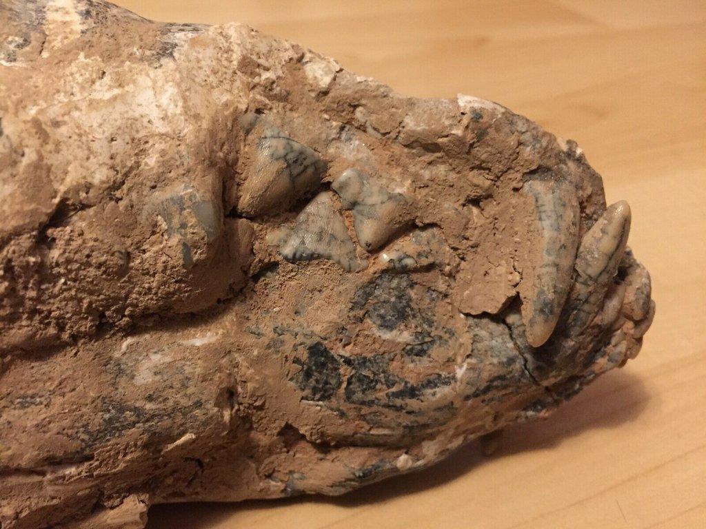fossil skull 3.jpg