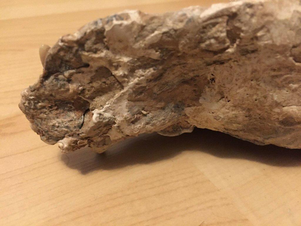 fossil skull 6.jpg