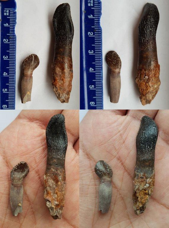 Rooted Archaeodontosaurus and Bothriospondylus 2s-resize.jpg