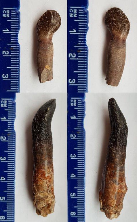 Rooted Archaeodontosaurus and Bothriospondylus-resize.jpg