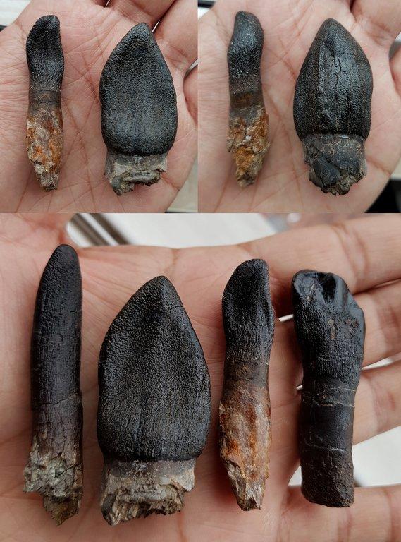 All Large Sauropod teeth-resize.jpg