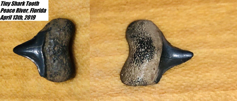SharkTooth.thumb.jpg.a50a59a765260804bced14ae4b942830.jpg