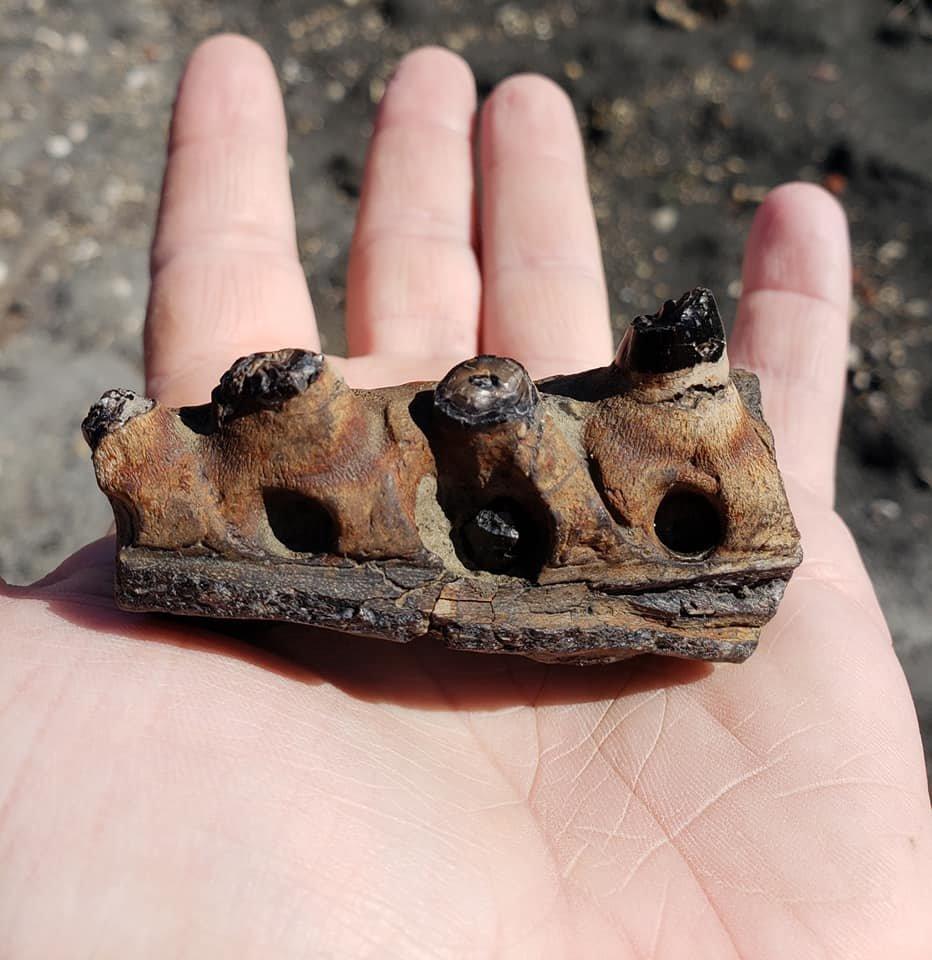 Mosasaur Pterygoid