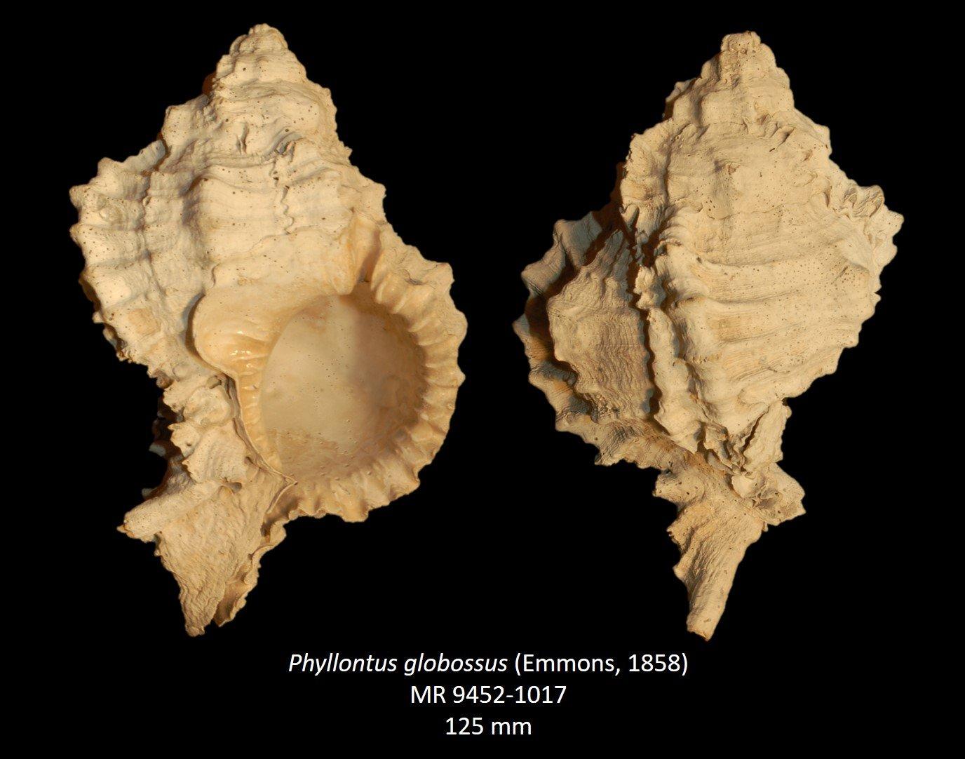 Phyllonotus globossus