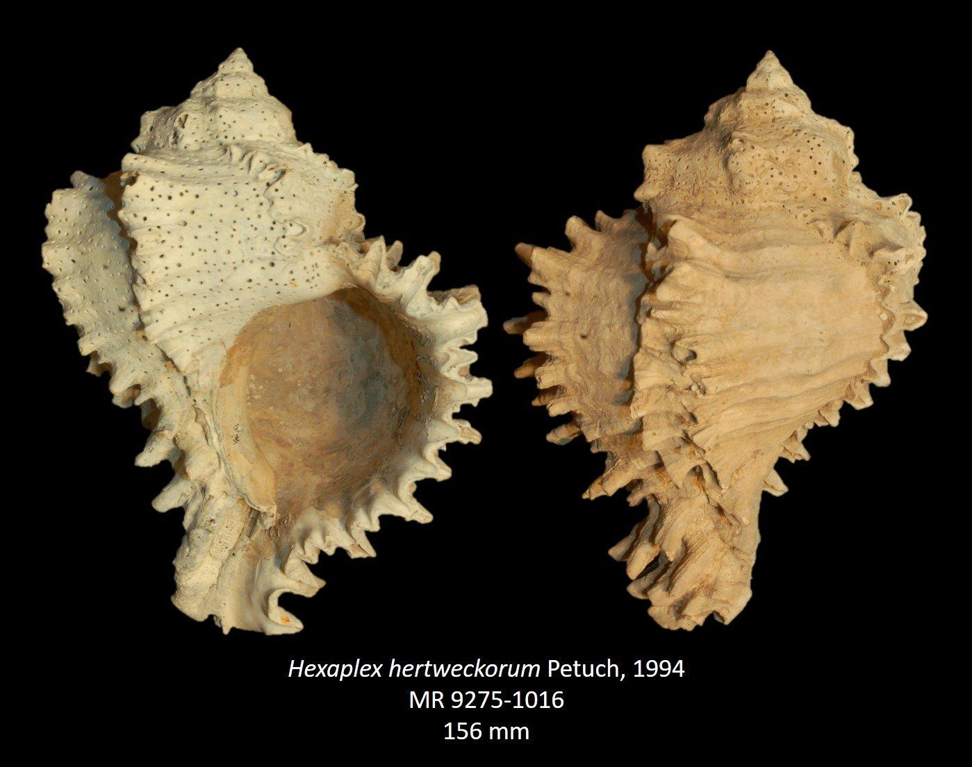 Hexaplex hertweckorum