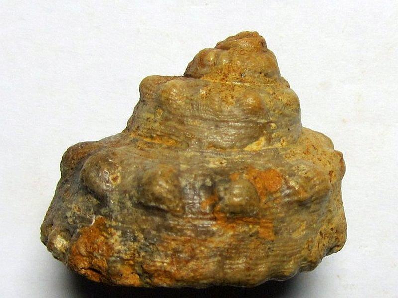 Pleurotomaria constricta (Deslongchamps 1849)