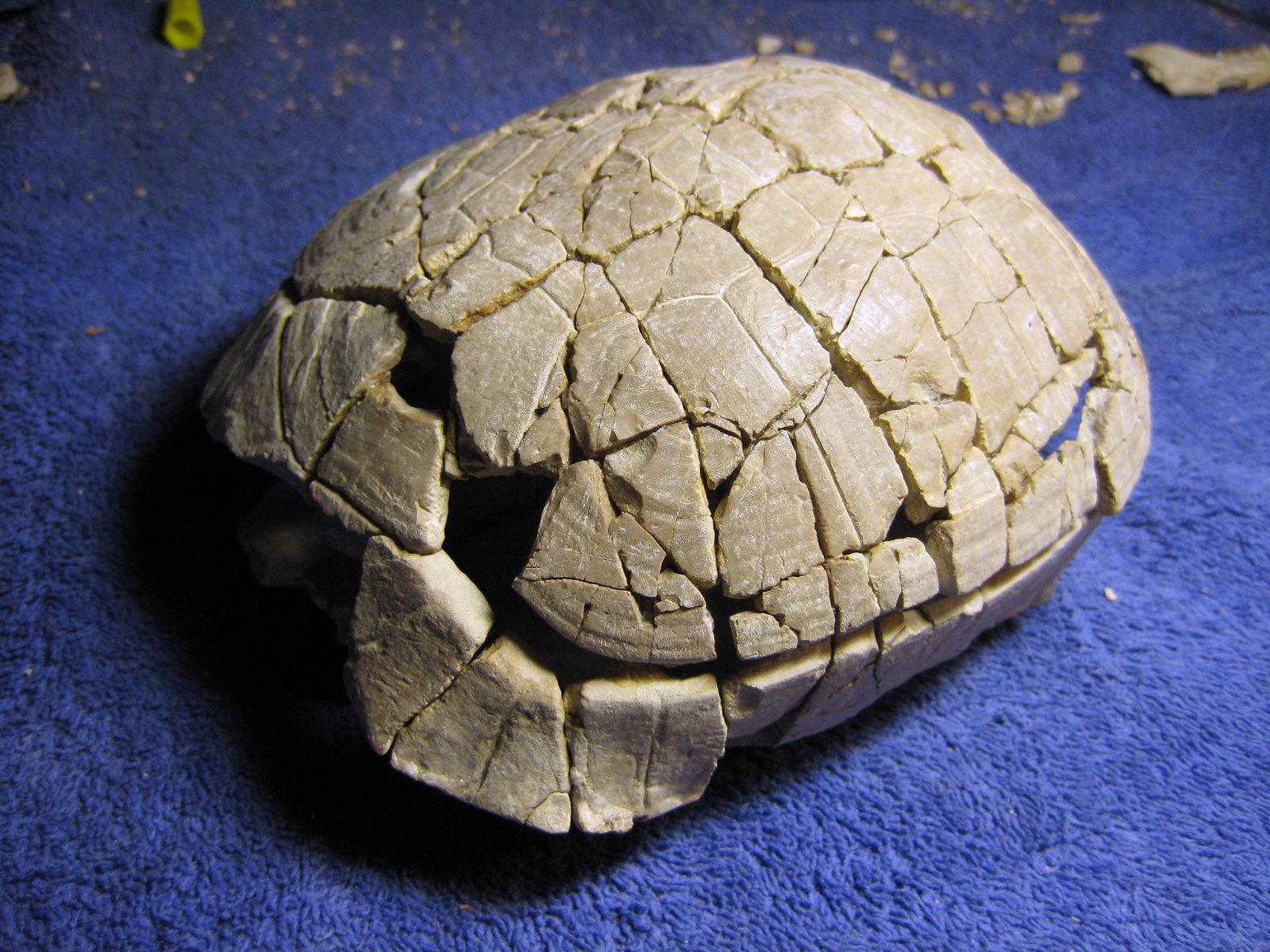Stylemes nebraskensis Turtle - Nebraska Oligicene