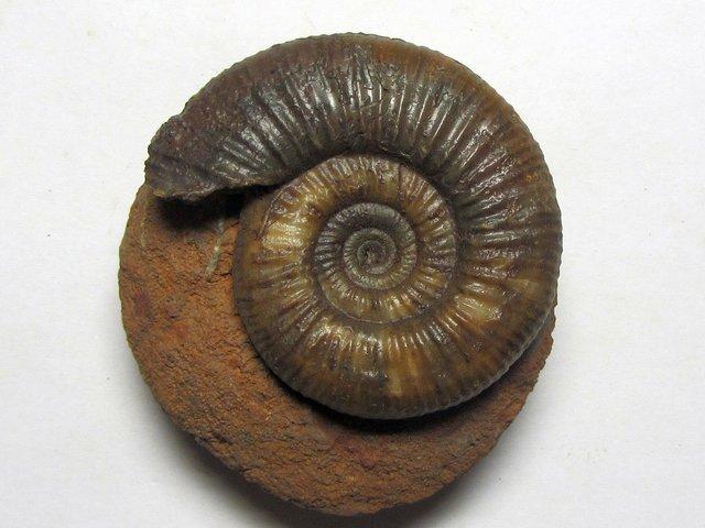 Choffatia sp. (Siemiradzski 1898)