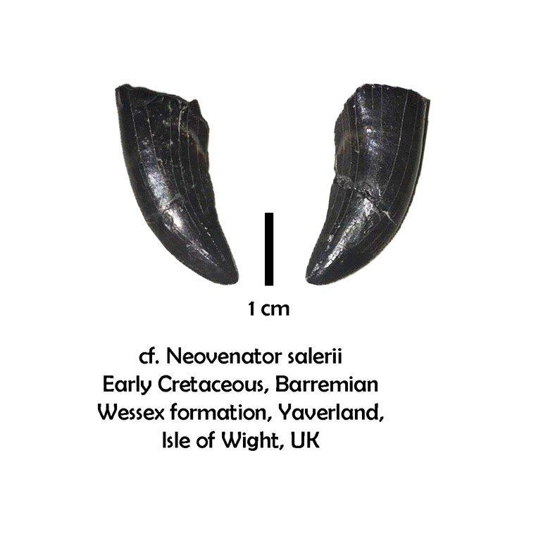 neovenator.thumb.jpg.bddf01e50ccd2f5cb0c1f8f0d625cf45.jpg