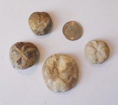 Echinoid Pliotoxaster.JPG