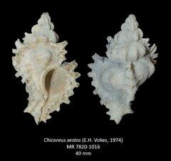 Chicoreus xestos