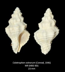 Calotrophon ostearum