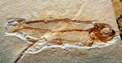 Lusitanichthys africanus