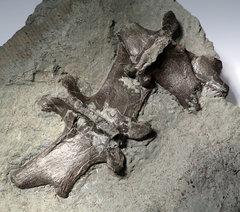 Crocodile vertebrae