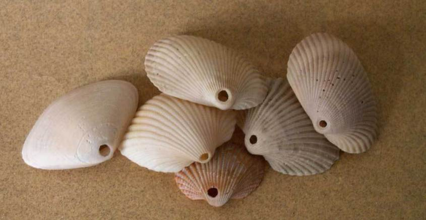 2-Bivalve-shells-with-a-smooth-round-hole-in-them.jpg