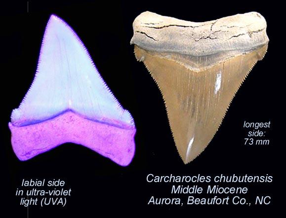 shark_carcharocles chubutensis UVA.jpg