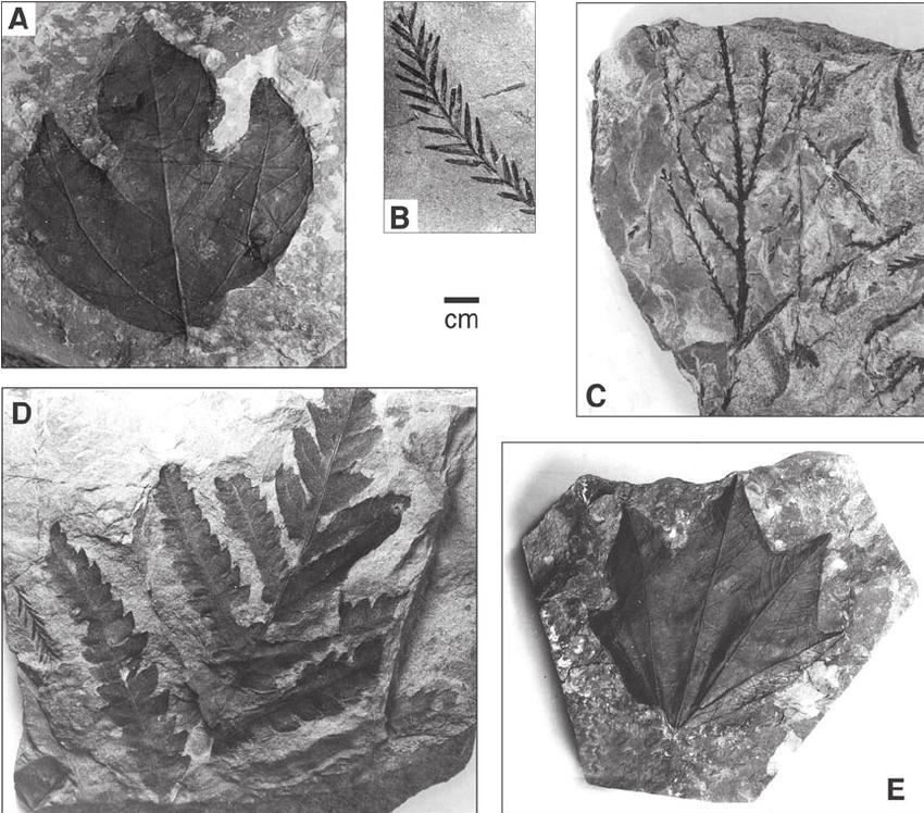 Chuckanut-Formation-leaf-fossils-A-Sassafras-B-Taxodium-swamp-cypress-C.png