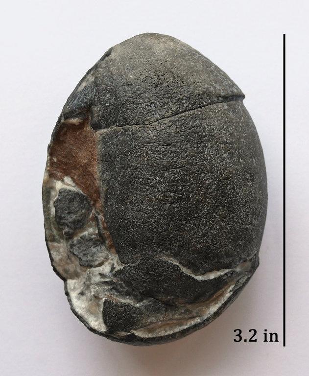 Egg_Segnosaur_2b.thumb.jpg.394ef932b5b937fc91303103a42ecb3c.jpg