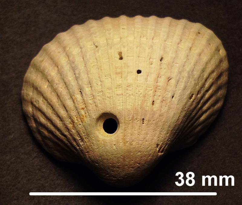 Moon-snail-drill-hole-in-Dallarca-idonea.jpg