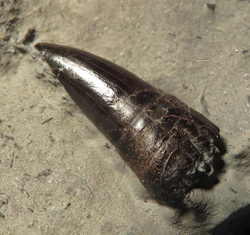 ichthyozahn.thumb.JPG.42cc14c105fb745305753592a003e6a9.JPG