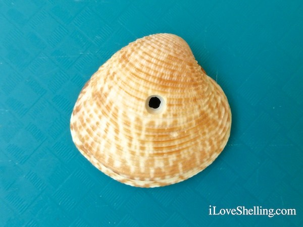 lady-in-waiting-venus-clam-with-drill-hole-1.jpg