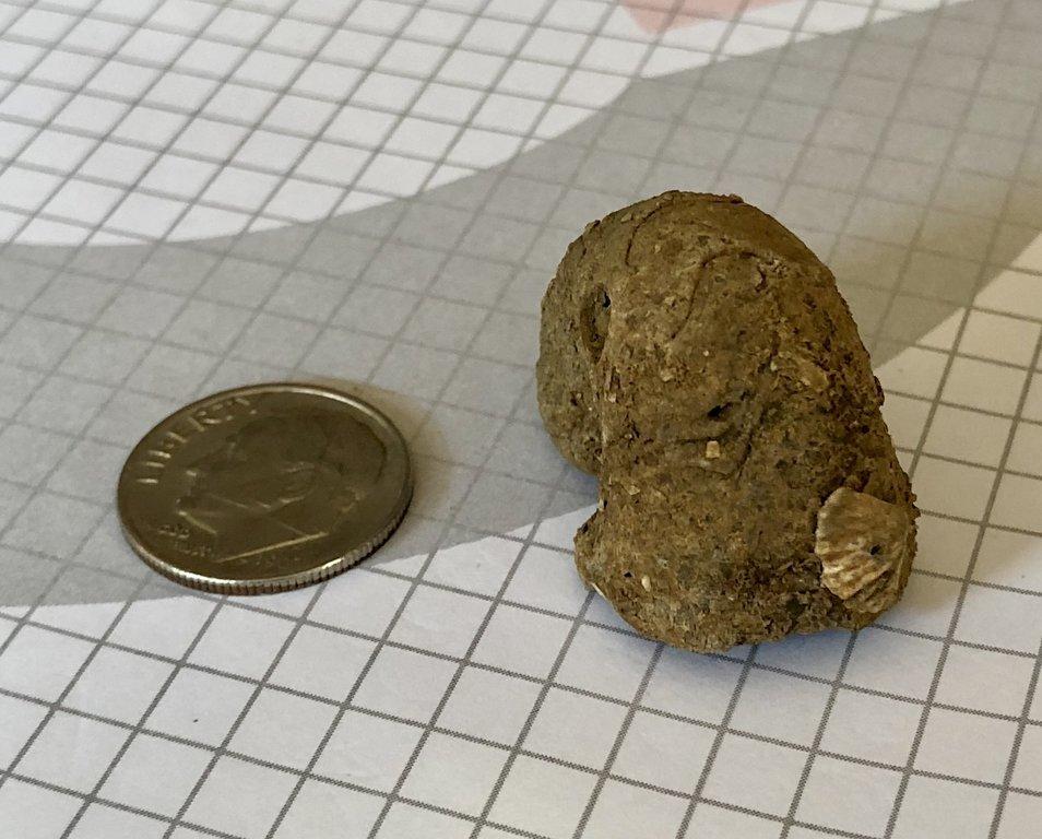 Platystoma ventricosa with Leptocoelia flabellites
