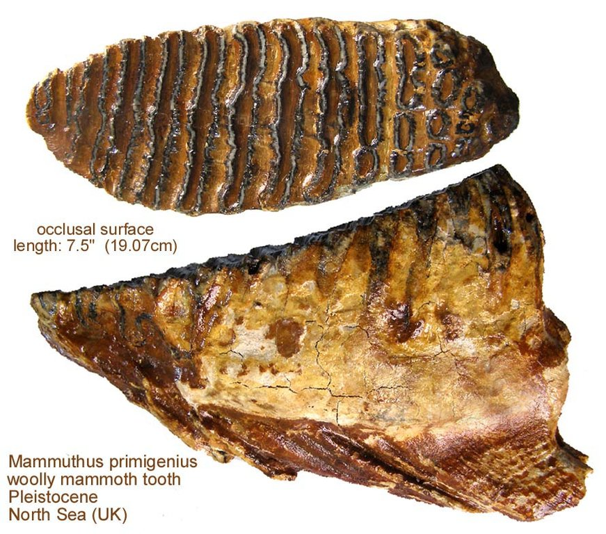 mammoth_woolly_tooth.JPG