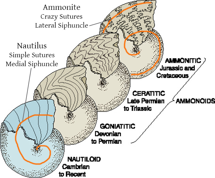 nautilus-ammonite-sutures-siphuncles.jpg.4137e87520ed2358d8a94883fff7ec6c.jpg