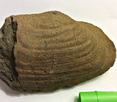 Big Bivalve from the Merchantville Formation, New Jersey