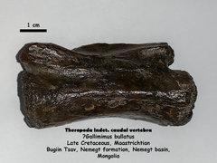 cf. Gallimimus vertebra