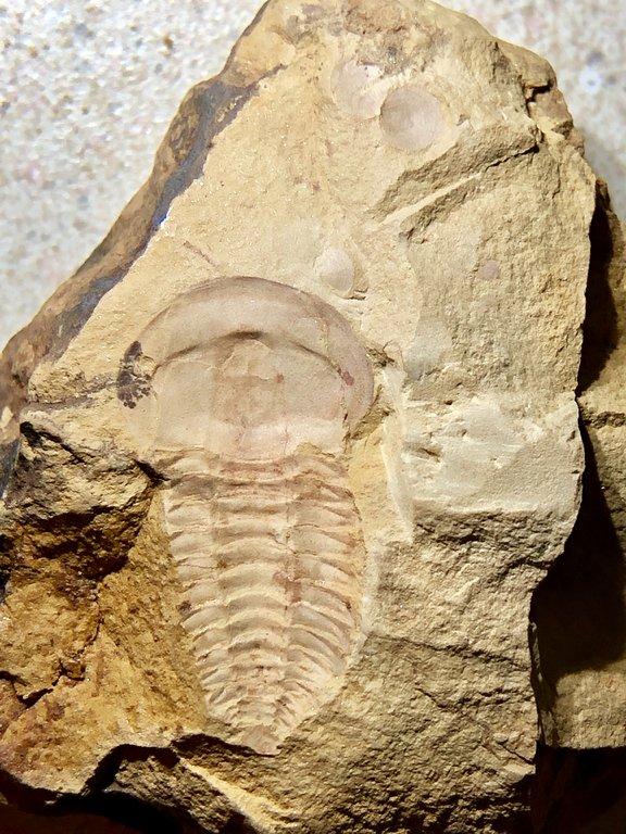 yunnancephalus.jpg.d377dbfd38bf93c8a4d7f8657875e228.jpg