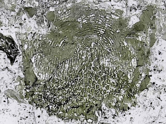 trachichthyidae 5.jpg