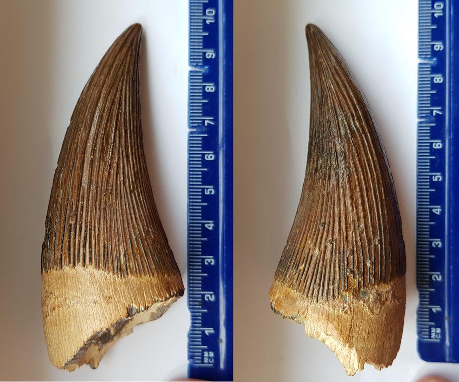 Pliosaur tooth 1.jpg
