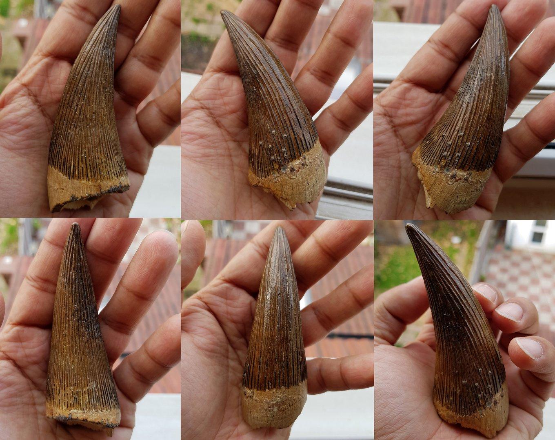 Pliosaur tooth 2-resize.jpg