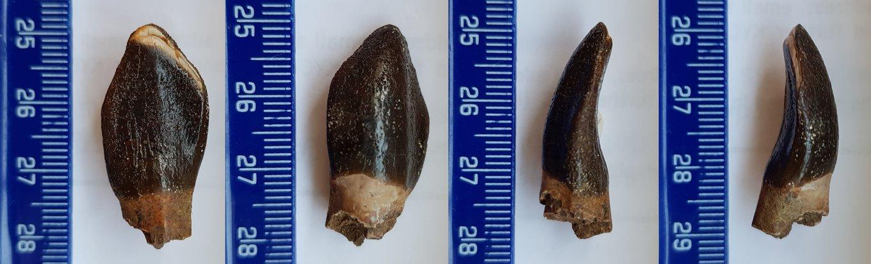 Eusauropoda indet 1-resize.jpg