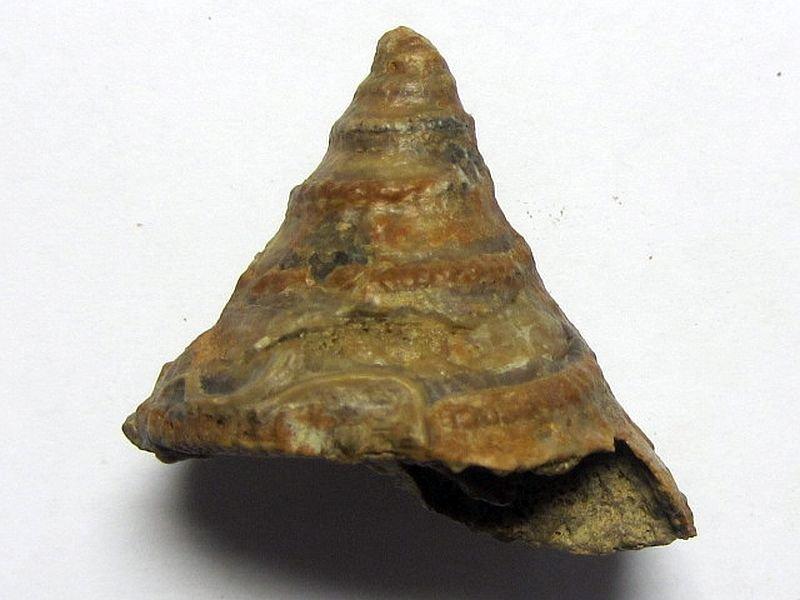 Pyrgotrochus bessinus (D'Orbigny 1854)
