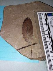 Fossil Leaf Green River.jpg