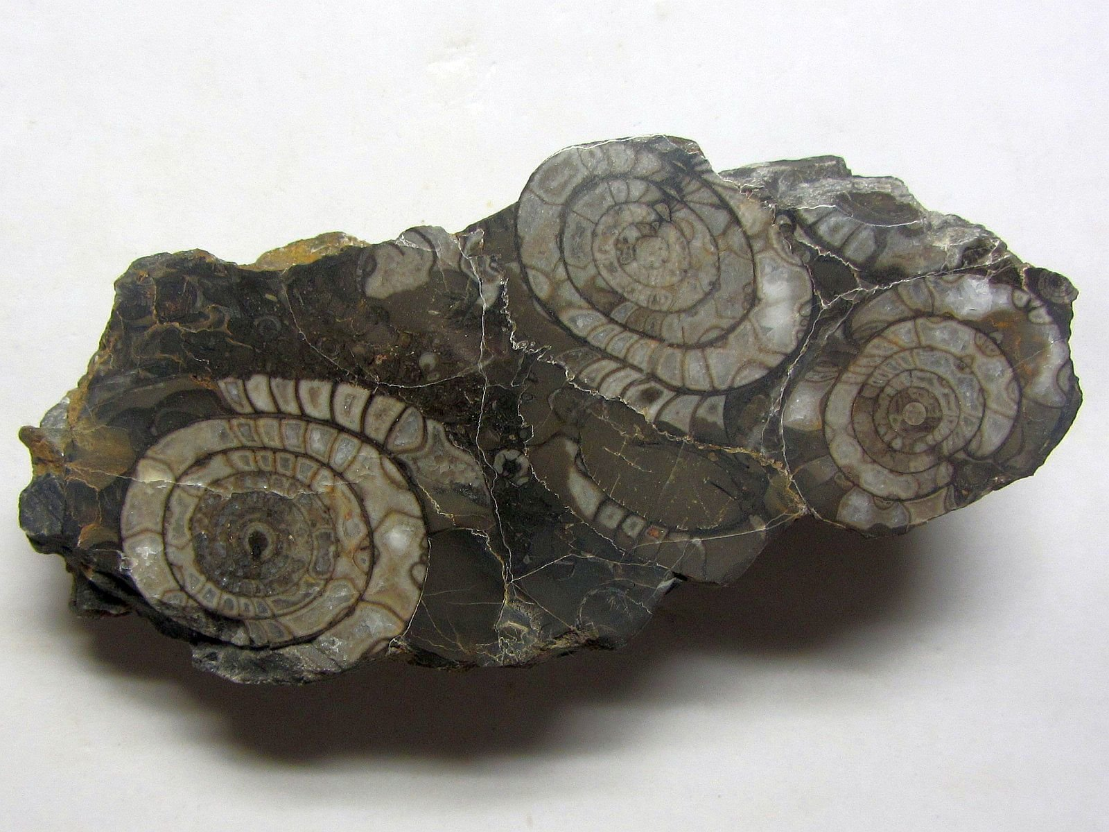 Goniatites sp. (Haan 1825)