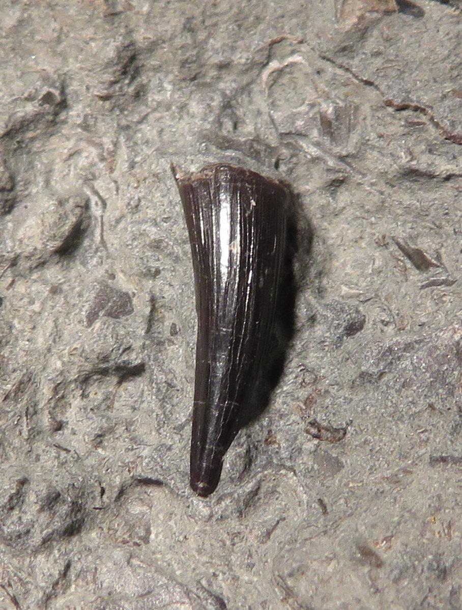 Steneosaur tooth