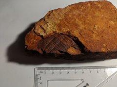 Trilobite - Arthur Creek Formation 1.1
