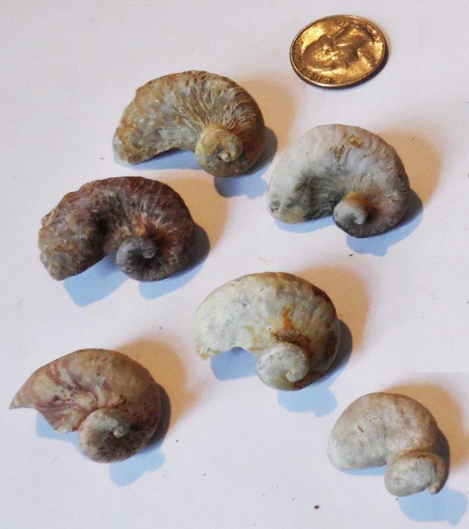 oyster ram's horns Ilymatogyra (2) - Copy.JPG