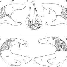 cephalic spine 1.jpg