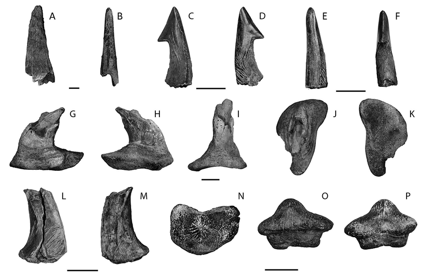 Hybodont-spines-and-Ptychodus-tooth-from-the-Eutaw-Formation-at-Luxapalila-Creek.png