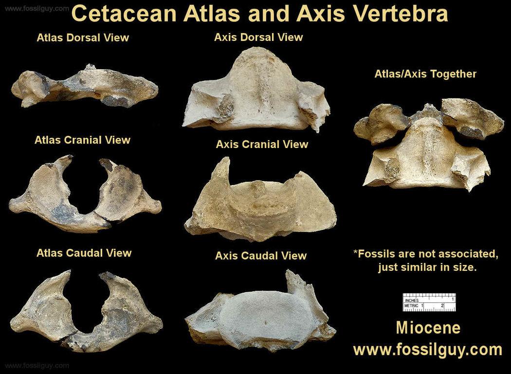 atlas-axis-fossil-vertebra.thumb.jpg.1998b9cec277a53f49450f3b6abf2a9a.jpg