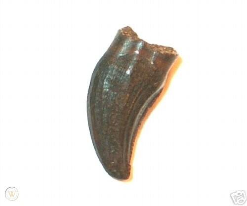 hell-creek-dinosaur-fossil-rare-pachycephalosaurus_1_e5a6b6a289daf456df54ea0dedbc1051.jpg.35ed74f9851afac7a6798655d7609cc5.jpg